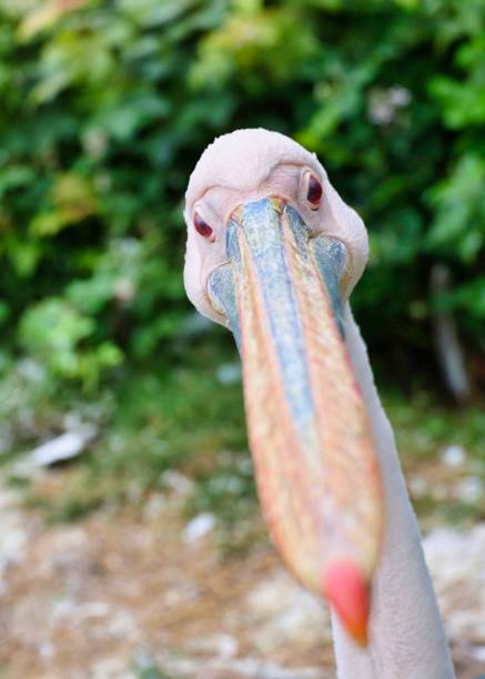 Close-up of pelican,Ramsey,Isle of Man