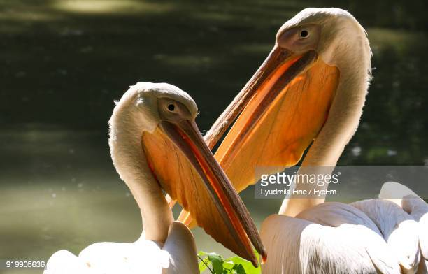 Close-Up Of Pelicans Outdoors