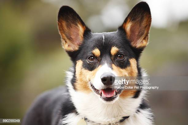 Close-up of Pembroke Welsh Corgi