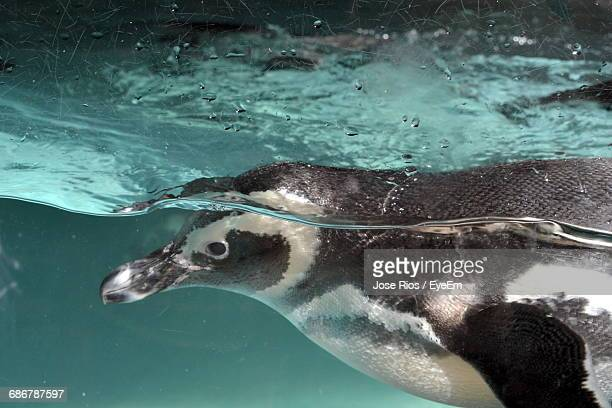 Close-Up Of Penguin Swimming In Sea