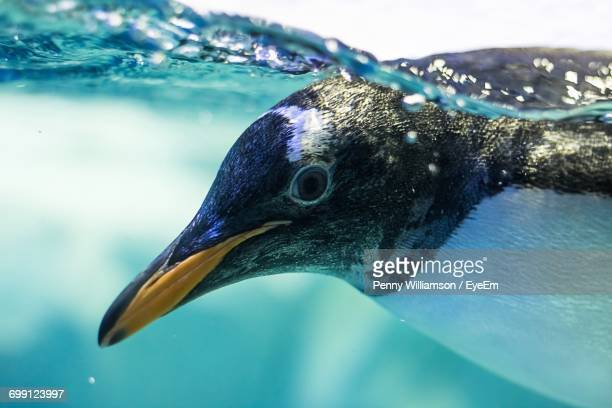 close-up of penguin swimming in water - pinguïn stockfoto's en -beelden