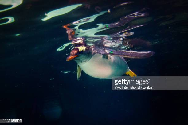 close-up of penguin swimming undersea - phillip island stock pictures, royalty-free photos & images