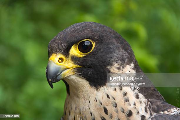 close-up of peregrine falcon - peregrine falcon stock photos and pictures