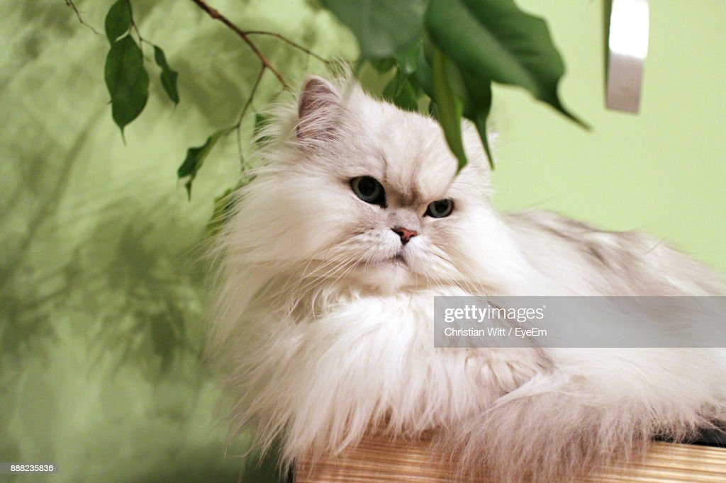 Close-Up Of Persian Cat Lying At Home : Stock Photo