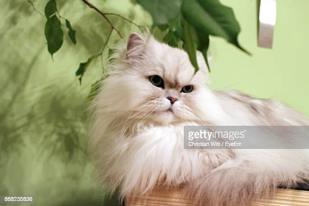 close-up of persian cat lying at home - persian stock photos and pictures