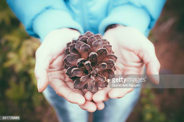 close-up of person hands with a pinecone - son la stock pictures, royalty-free photos & images