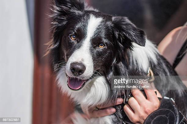 Close-Up Of Person Holding Border Collie