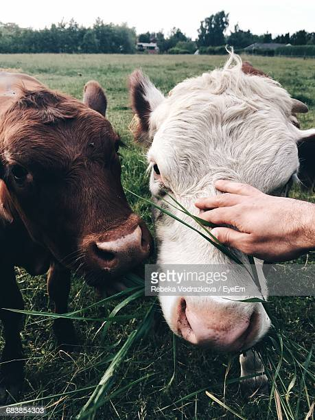 Close-Up Of Person Petting Cow