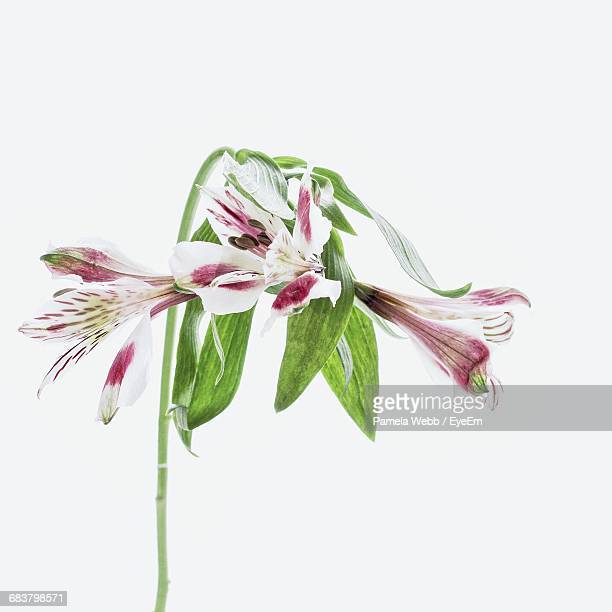 close-up of peruvian lily against white background - single flower stock photos and pictures