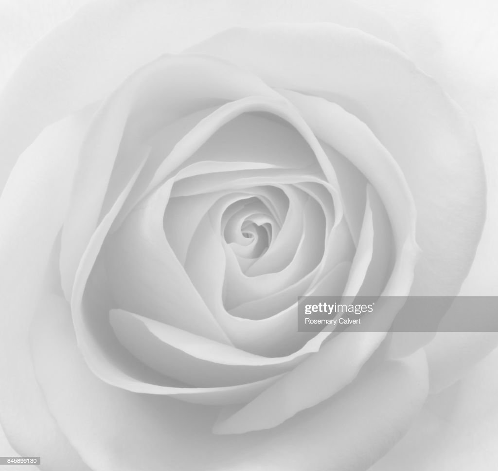 Closeup Of Petals At Centre Of Rose In Black And White Stock Photo