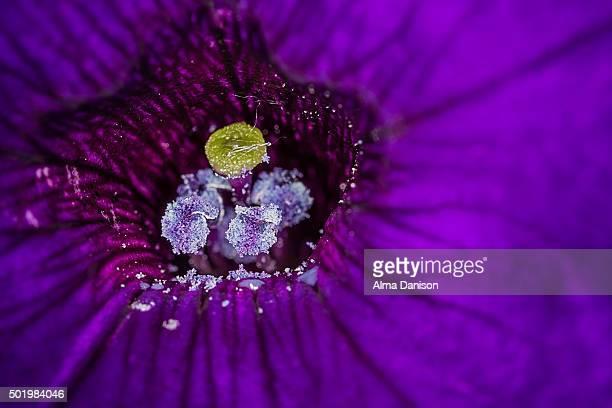 close-up of petunia flower - alma danison fotografías e imágenes de stock