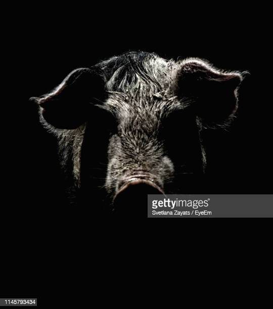 close-up of pig against black background - animal nose stock pictures, royalty-free photos & images
