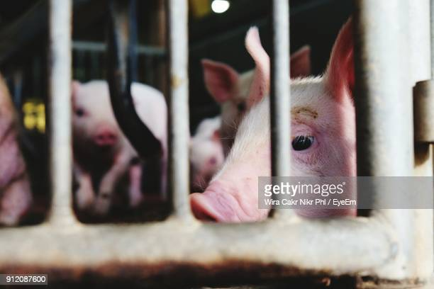 Close-Up Of Pig In Cage