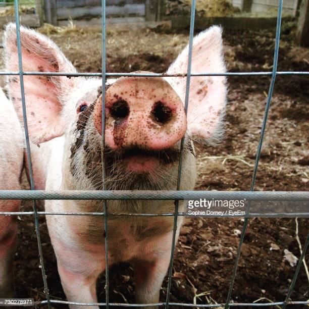 Close-Up Of Pig In Farm