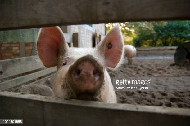 close-up of pig in pen - pig nose stock pictures, royalty-free photos & images
