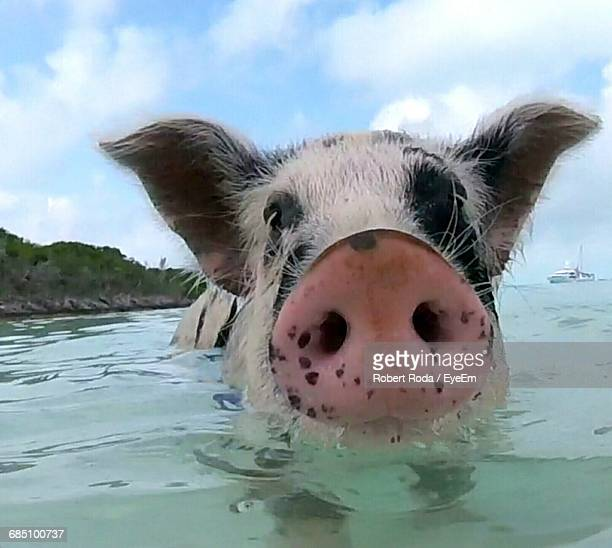 Close-Up Of Pig In Sea Against Sky