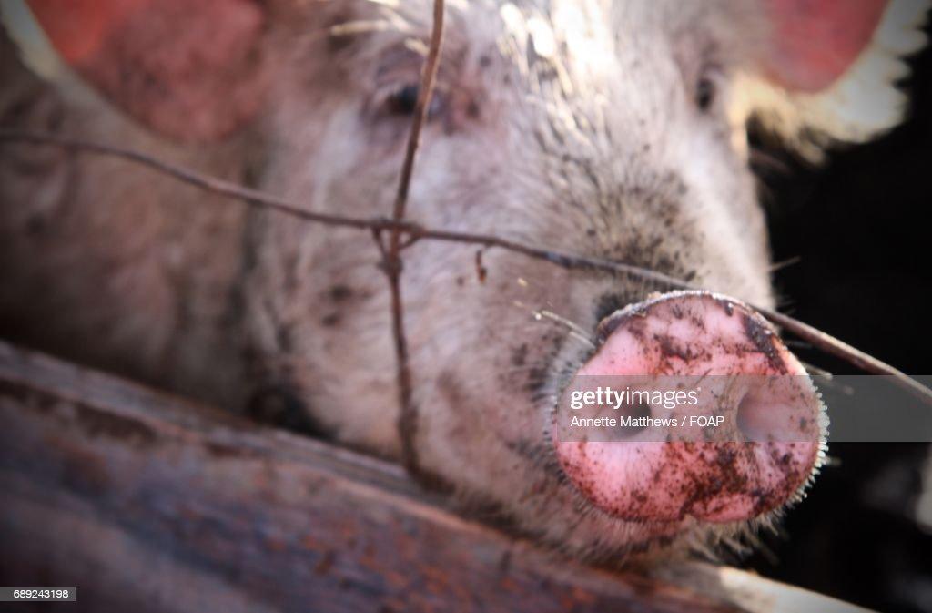 Close-up of pig : Stock Photo