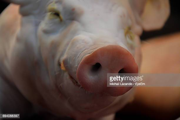 close-up of pig - pig nose stock pictures, royalty-free photos & images