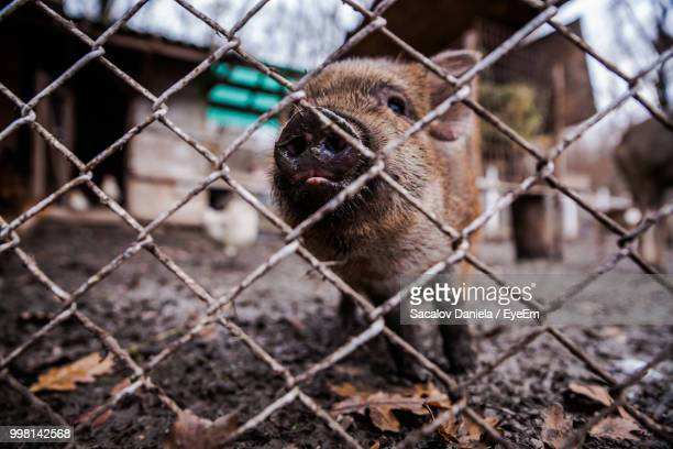 close-up of pig seen through chainlink fence - pig nose stock pictures, royalty-free photos & images