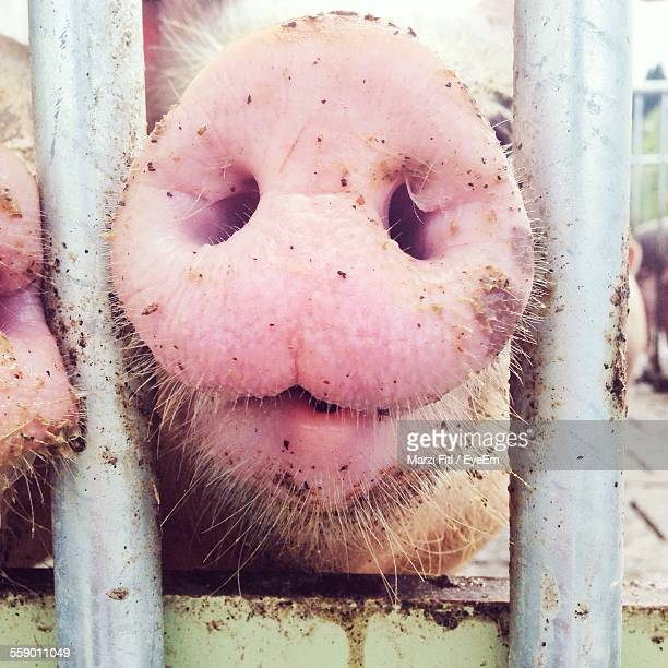 close-up of pig snout, metal barrier - pig nose stock pictures, royalty-free photos & images