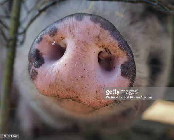 close-up of pig snout - snout stock pictures, royalty-free photos & images