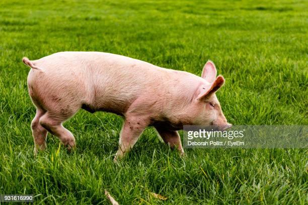 Close-Up Of Pig Walking On Field