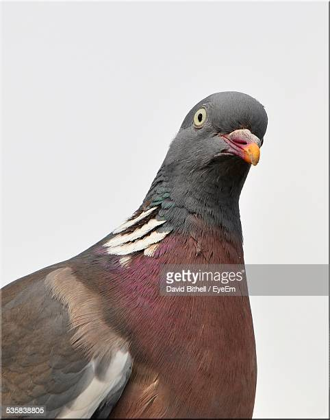 close-up of pigeon against clear sky - pigeon stock pictures, royalty-free photos & images