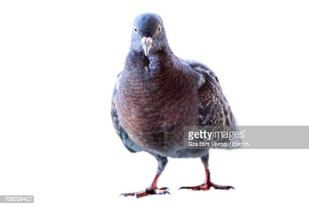 close-up of pigeon against white background - pigeon stock pictures, royalty-free photos & images