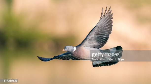 close-up of pigeon flying outdoors,telford,united kingdom,uk - flying stock pictures, royalty-free photos & images