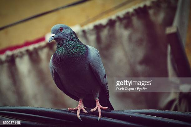 close-up of pigeon perching on cable - appollaiarsi foto e immagini stock