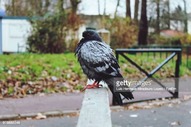 Close-Up Of Pigeon Perching On Railing At Park