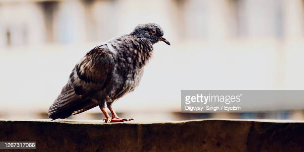 close-up of pigeon perching on retaining wall - chandigarh stock pictures, royalty-free photos & images