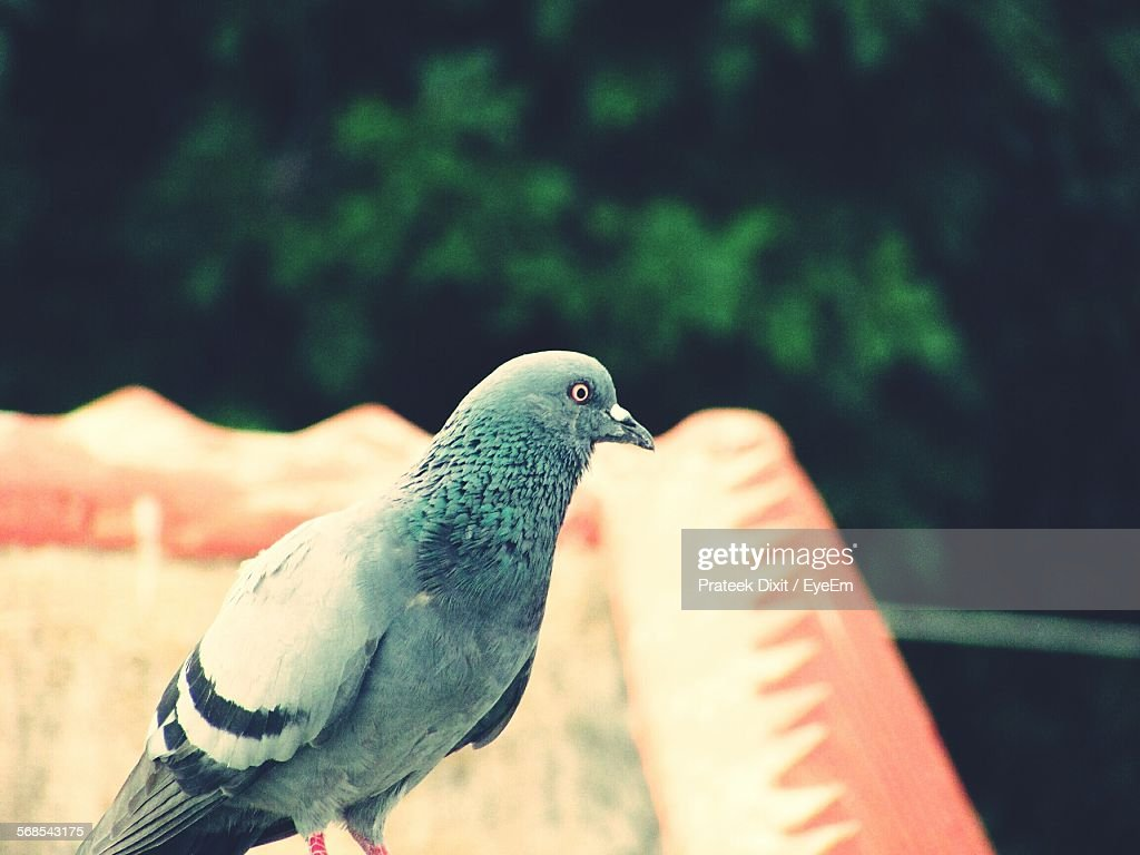 Close-Up Of Pigeon Perching On Roof Against Tree : Stock Photo
