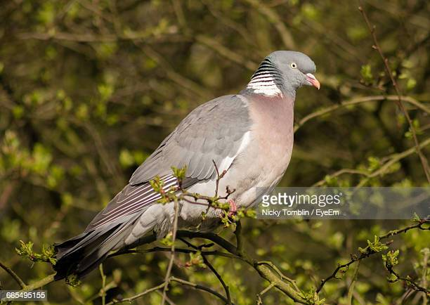 close-up of pigeon perching on tree - pigeon stock pictures, royalty-free photos & images