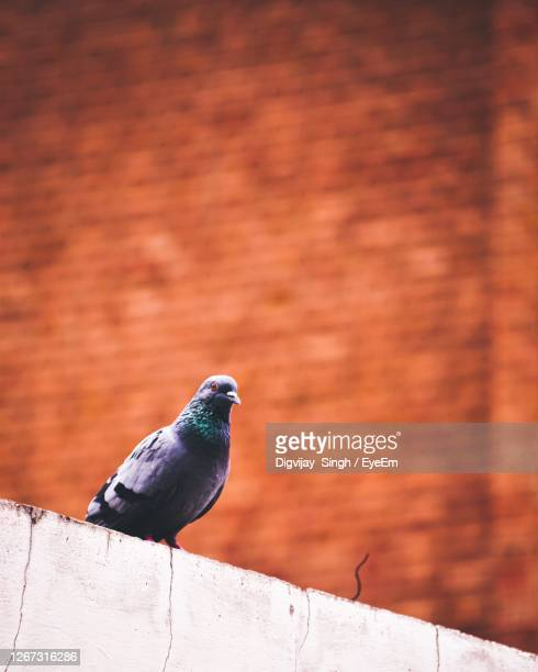 close-up of pigeon perching on wall - chandigarh stock pictures, royalty-free photos & images