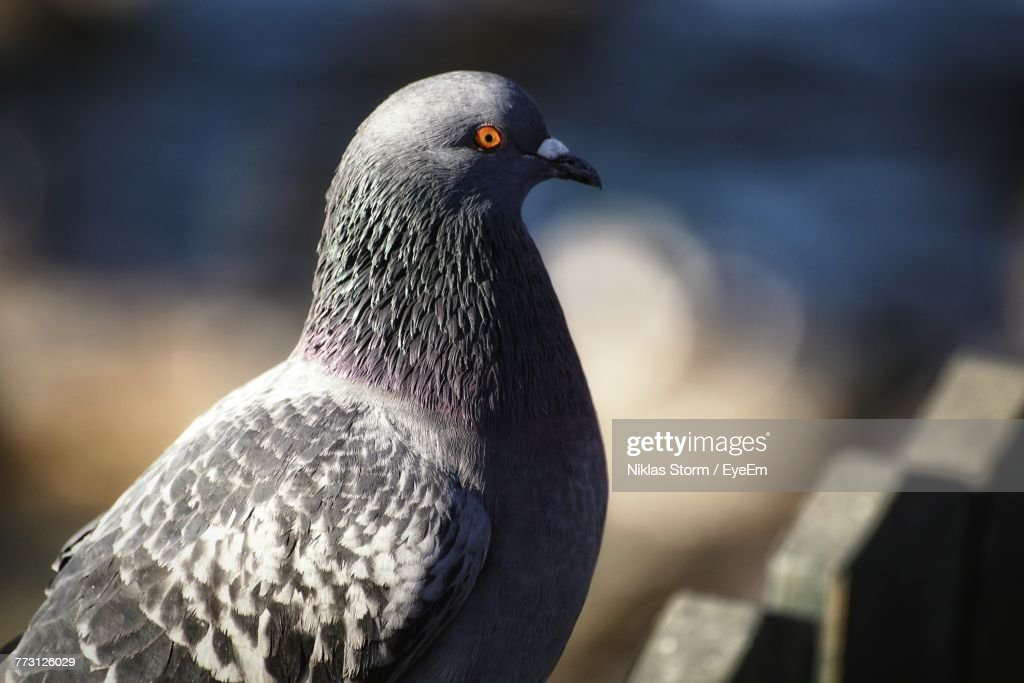 Close-Up Of Pigeon Perching Outdoors : Stock Photo