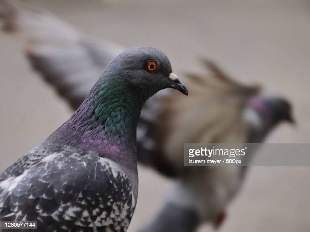 close-up of pigeon perching outdoors,mulhouse,grand est,france - mulhouse stock pictures, royalty-free photos & images