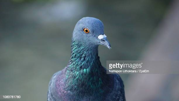 close-up of pigeon - pigeon stock pictures, royalty-free photos & images