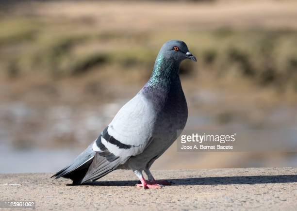 close-up of pigeon, (columba palumbus). - pigeon stock pictures, royalty-free photos & images