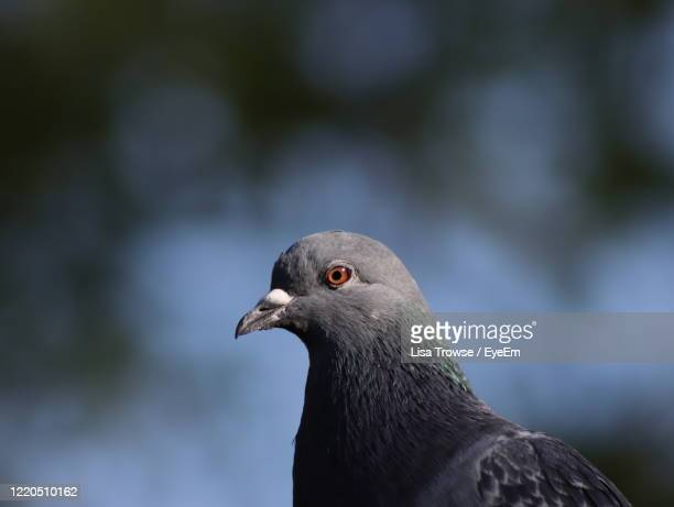 close-up of pigeon - esher stock pictures, royalty-free photos & images
