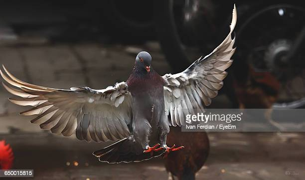 Close-Up Of Pigeon With Spread Wings