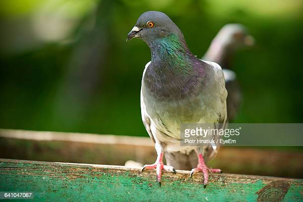 close-up of pigeons on railing - piotr hnatiuk stock pictures, royalty-free photos & images