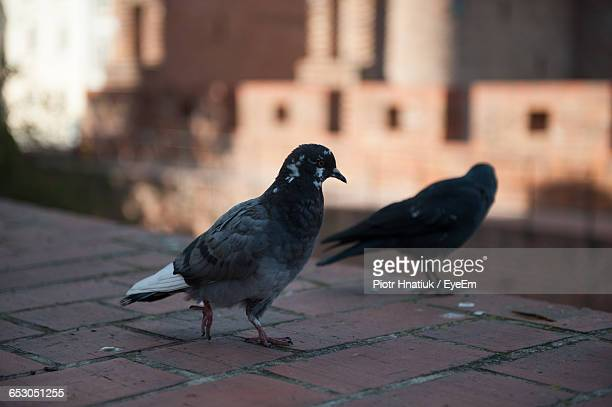 close-up of pigeons perching on retaining wall - piotr hnatiuk stock pictures, royalty-free photos & images