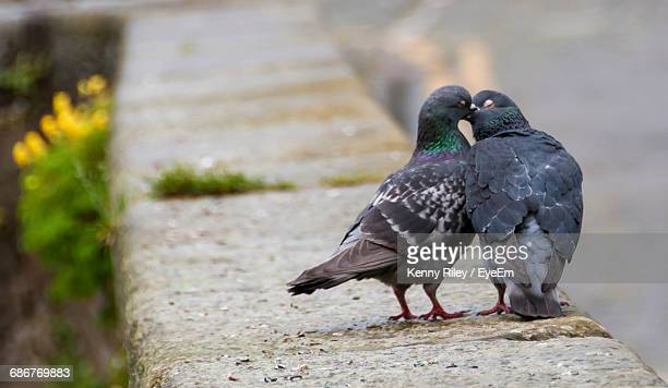 Close-Up Of Pigeons Perching On Retaining Wall