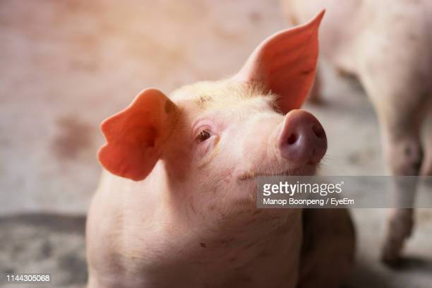 close-up of piglet at farm - pig nose stock pictures, royalty-free photos & images