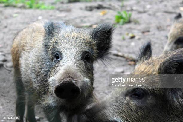 Close-Up Of Piglets On Field