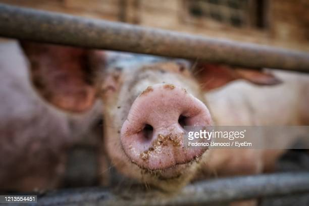 close-up of pig's nose - snout stock pictures, royalty-free photos & images