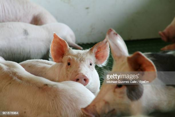 Close-Up Of Pigs
