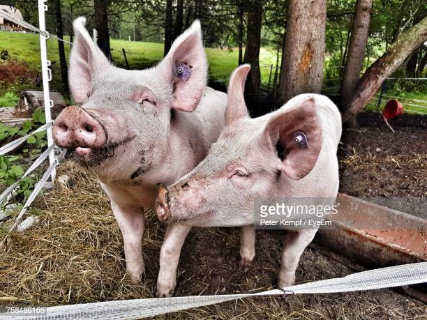close-up of pigs standing on field against trees - pigs trough stock pictures, royalty-free photos & images