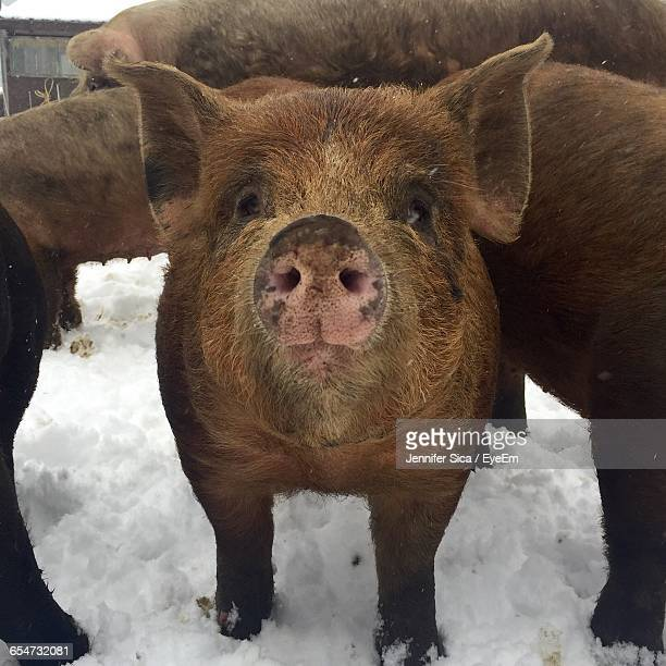 Close-Up Of Pigs Standing On Snow Covered Field